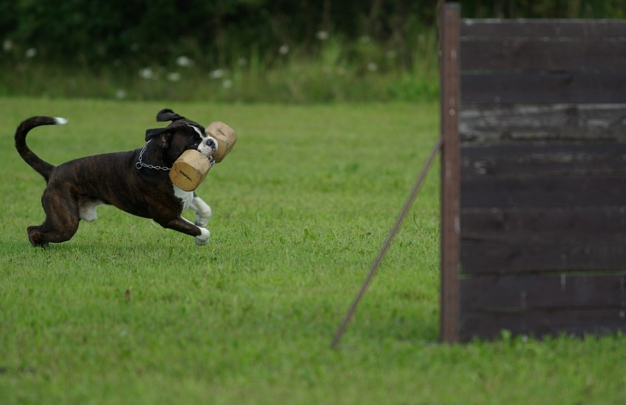 Un chien en plein entraînement